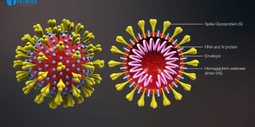 Cross-sectional model of a coronavirus